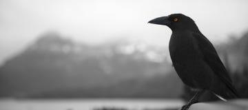 Czarny currawong odpoczywa na gałąź obraz stock