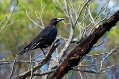 Czarny Currawong znać w okolicy jako czarna sójka, wielki wróblowaty ptasi endemiczny Tasmania, jeden trzy cur - Strepera fuligin fotografia stock