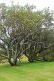 Czarny Czereśniowy drzewo z ławką 7 Fotografia Royalty Free
