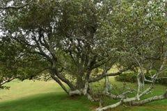 Czarny Czereśniowy drzewo 2 Obrazy Stock