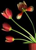 czarny czerwoni tulipany Zdjęcia Royalty Free
