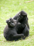 czarny czubaty makak Zdjęcia Stock