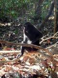 Czarny czubaty makak Fotografia Royalty Free