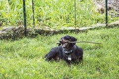 Czarny dachshound żuć na kiju w trawie Fotografia Stock