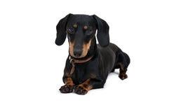 Czarny dachshound pies Zdjęcia Royalty Free