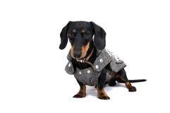 Czarny dachshound pies w sukni Zdjęcia Stock