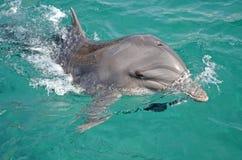 Czarny Denny delfin wyłaniający się od morza snorkeling i pływający z delfinem w Czerwonym morzu, Izrael zdjęcia royalty free