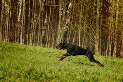 Czarny Doberman bieg cwał na wzgórzu Zdjęcie Royalty Free