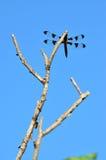 czarny dragonfly Zdjęcie Stock