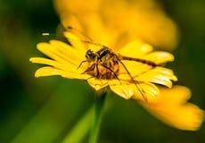 Czarny dragonfly Fotografia Royalty Free