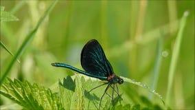 Czarny Dragonfly zbiory