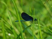 Czarny Dragonfly Obraz Stock