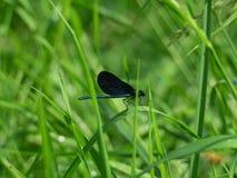 Czarny Dragonfly Obraz Royalty Free