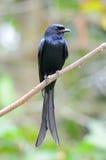 czarny drongo Zdjęcie Stock
