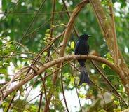 Czarny Drongo Ptasi obsiadanie na gałąź drzewo w lesie - Dicrurus Macrocercus - Obrazy Royalty Free
