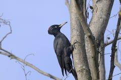 czarny dryocopus martius dzięcioł zdjęcie royalty free