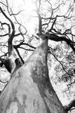 czarny drzewny biel Zdjęcie Royalty Free