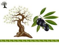 czarny drzewo oliwne Zdjęcia Stock