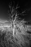 czarny drzewo wietrzejący biel Obrazy Royalty Free