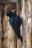 Czarny dzięcioł - Dryocopus martius Zdjęcia Royalty Free