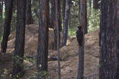 Czarny dzięcioła obsiadanie na drzewie Obrazy Royalty Free