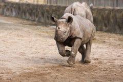 czarny dziecko nosorożec Fotografia Stock