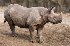 czarny dziecko nosorożec Obrazy Royalty Free