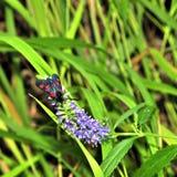 Czarny dziki motyl na krzaku obraz royalty free
