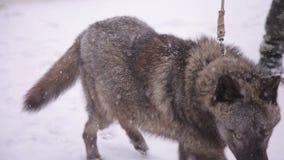 Czarny dziki wilk na smyczu w śniegu w drewnach zbiory wideo