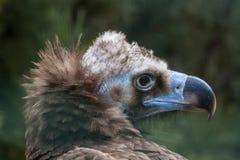 czarny eurasian sępie Fotografia Royalty Free