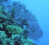 czarny fan gorgonian morze obrazy stock