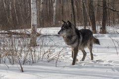 Czarny faza Popielatego wilka Canis lupus Kopie Up Śnieżny Patrzeć Z lewej strony Obraz Stock