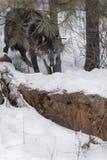 Czarny faza Popielatego wilka Canis lupus Skrada się Z drzew Zdjęcia Stock