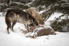 Czarny fazy Canis lupus i Popielaty wilk Kopiemy Wewnątrz ogon Dee Zdjęcia Stock