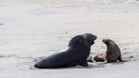 Czarny foki spełniania kotelni rytuał kobieta obrazy royalty free