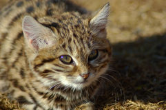 Czarny Footed kot (felis nigripes) Zdjęcie Stock