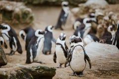 Czarny Footed pingwin gapi się przy kamerą z innymi pingwinami w tle w zoo zdjęcia stock