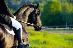 Czarny Fryzyjczyka koń w zmierzchu z jeźdzem Obrazy Stock