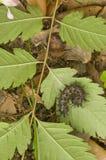 czarny gąsienicowy ćma Fotografia Royalty Free