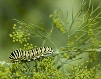 czarny gąsienicowy swallowtail zdjęcia royalty free