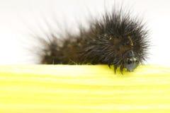 czarny gąsienica Zdjęcie Stock