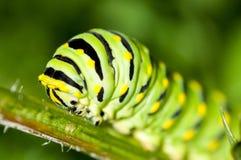 czarny gąsienicowy swallowtail Obrazy Royalty Free