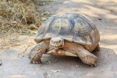 Czarny gaint tortoise chodzi wolno przy zoo Obraz Royalty Free