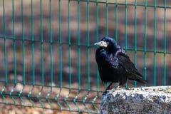 Czarny gawronu ptak, spojrzenia naprzód na jaskrawym słonecznym dniu i Czerni pi?rek shimmer w r??nych kolorach zdjęcie royalty free