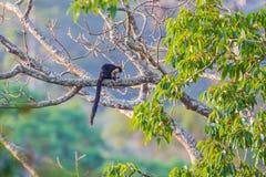 Czarny gigantyczny squirre Fotografia Stock