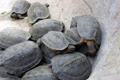 Czarny Gigantyczny Tortoise fotografia stock