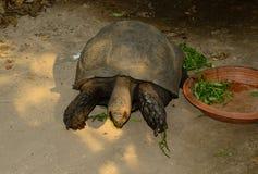 Czarny Gigantyczny Tortoise (Manouria emys phayrei) Zdjęcia Royalty Free