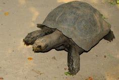 Czarny Gigantyczny Tortoise (Manouria emys phayrei) Zdjęcie Stock