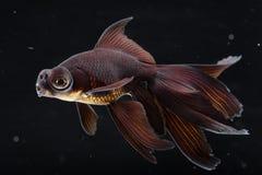 czarny goldfish cumuje Fotografia Royalty Free