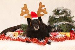 Czarny Groenendeel z reniferowymi poroże Zdjęcie Royalty Free